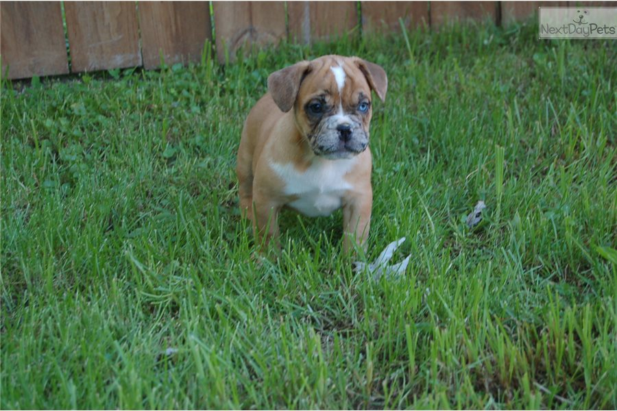 French Bulldog Puppy For Sale Near Chicago Illinois