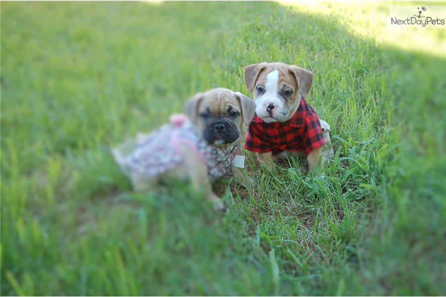 French Bulldog Puppy For Sale Near Chicago Illinois 64a841fe 0601