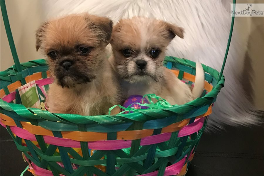 Shih Tzu Puppy For Sale Near Chicago Illinois 2287aa87 7891