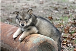 Picture of a Wolf Hybrid Puppy