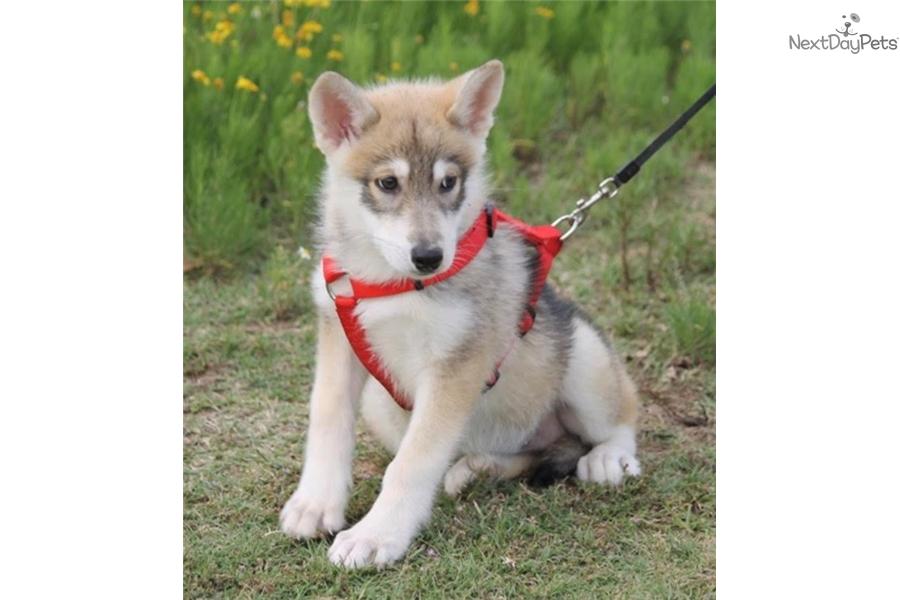 Envie: Wolf Hybrid puppy for sale near Tyler / East TX, Texas