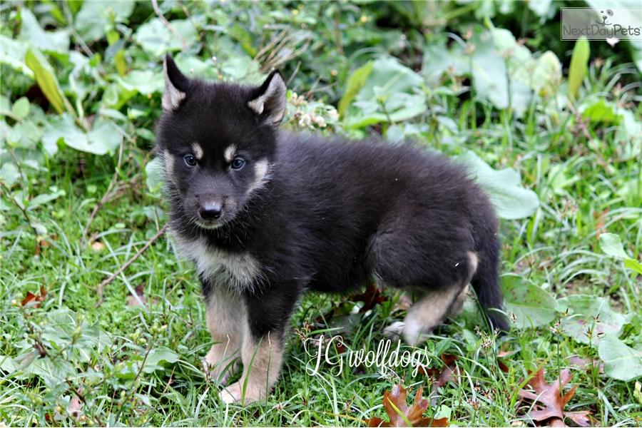 Shams: Wolf Hybrid puppy for sale near Tyler / East TX, Texas