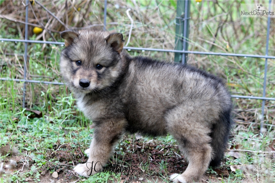 Sujay: Wolf Hybrid puppy for sale near Tyler / East TX