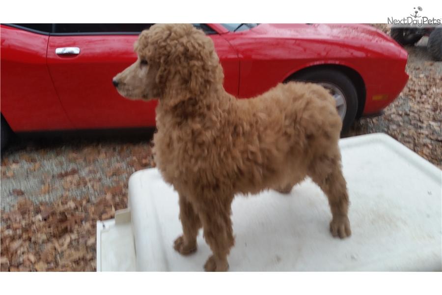 King: Poodle, Standard puppy for sale near Cincinnati, Ohio