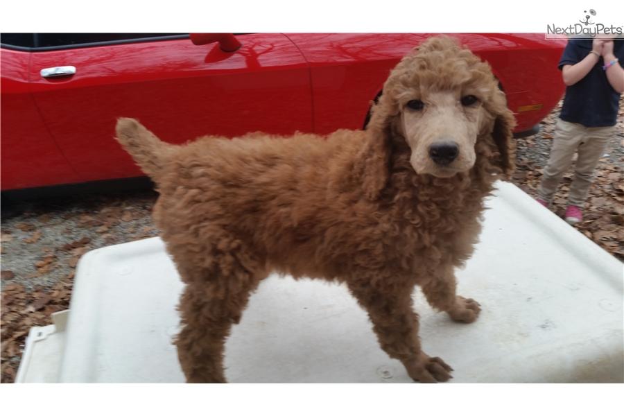 Princess Poodle Standard Puppy For Sale Near Cincinnati