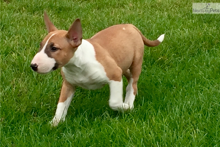 bull terrier puppies for sale in pa bull terrier puppy for sale near harrisburg pennsylvania 594