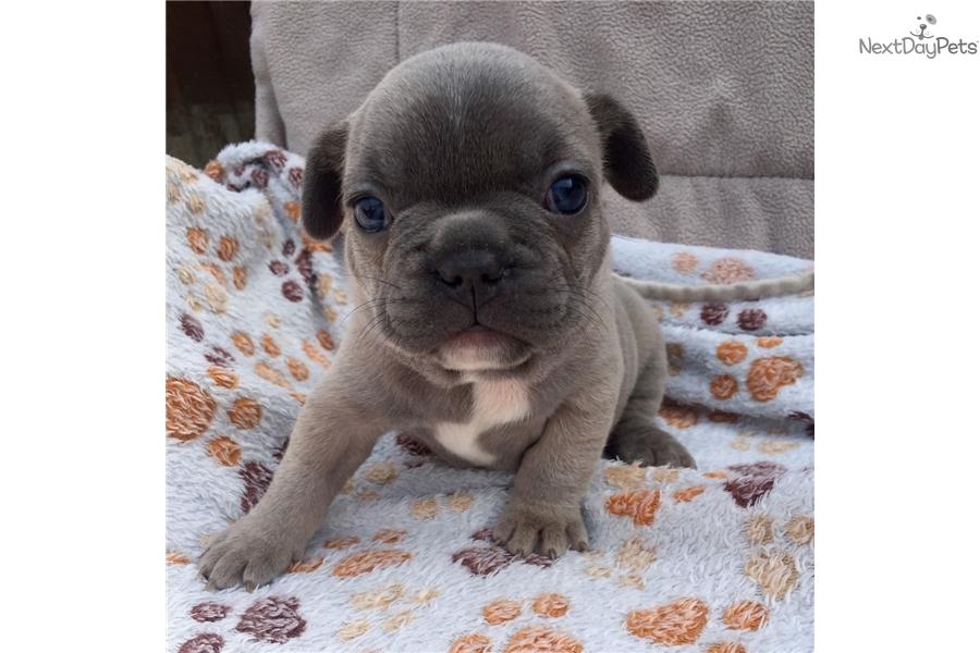 Jack French Bulldog Puppy For Sale Near San Francisco Bay Area