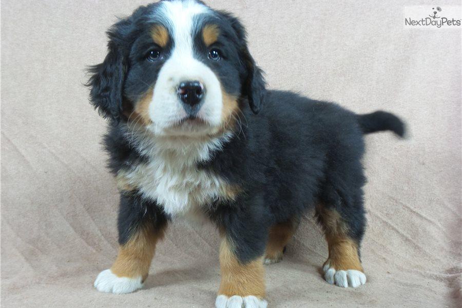 Bernese Mountain Dog Iowa For Sale