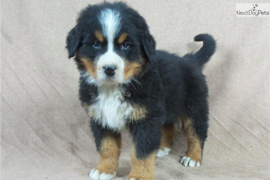 Bernese Mountain Dog Similar Breeds