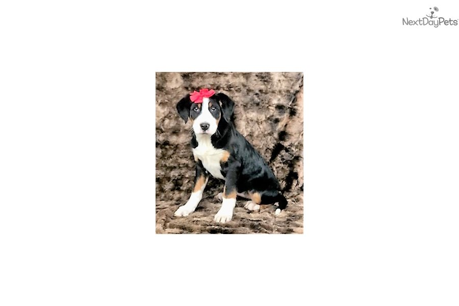 Gina Greater Swiss Mountain Dog Puppy For Sale Near Iowa