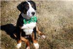 Picture of Scooter (Purebred Greater Swiss Mountain Dog