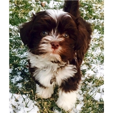 View full profile for Dixie Mae Havanese