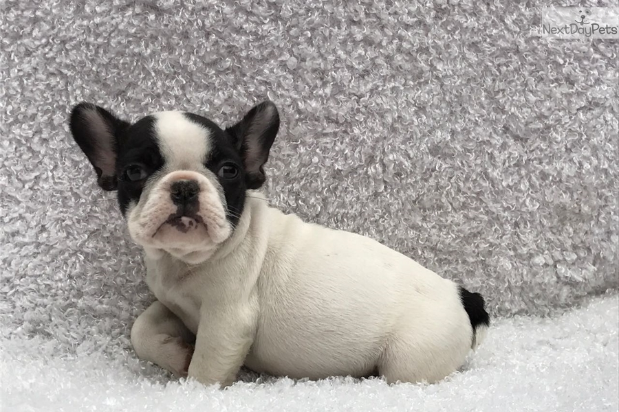 Romeo French Bulldog Puppy For Sale Near New Haven Connecticut
