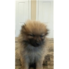 View full profile for Pomeranianpups