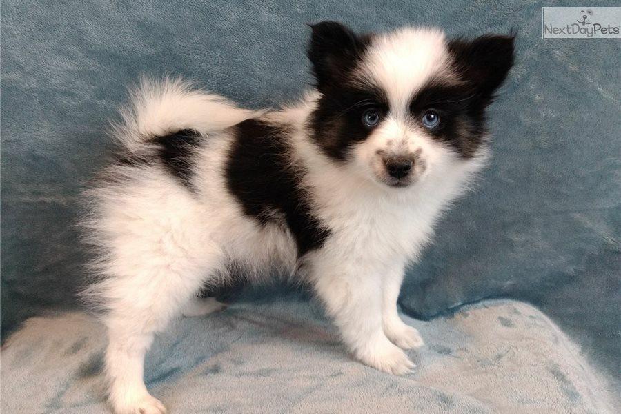 Pomsky puppy for sale near Grand Island, Nebraska | ba6759e9
