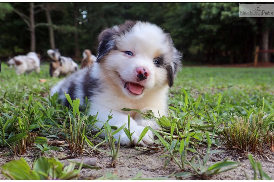 Miniature Australian Shepherd puppy for sale near Richmond