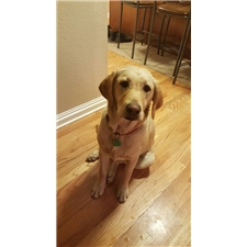View full profile for Gold Member Labradors