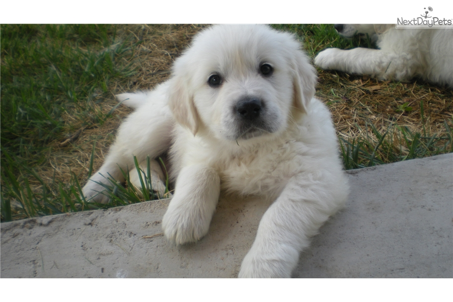 Male 2 English Golden Retriever Puppy For Sale Near Denver