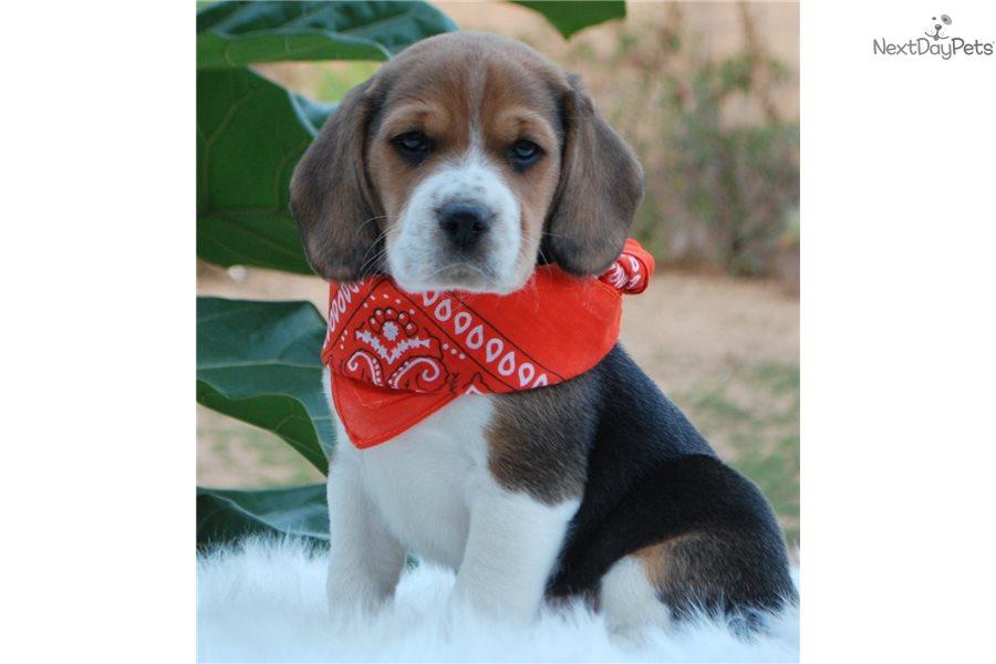 Pierre Beagle Puppy For Sale Near Orange County California