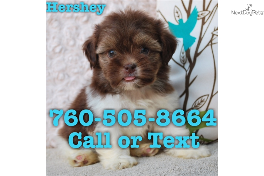 Hershey Shih Tzu Puppy For Sale Near San Diego California