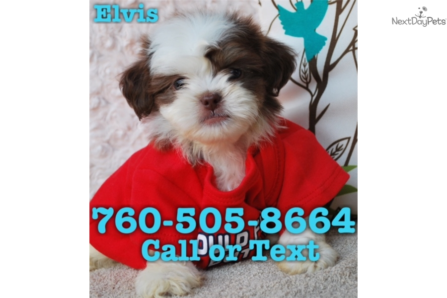Elvis Shih Tzu Puppy For Sale Near San Diego California