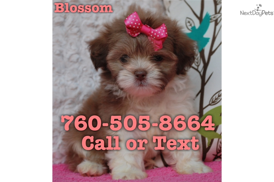 Blossom Shih Tzu Puppy For Sale Near San Diego California