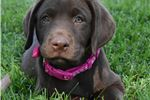 Picture of Chloe AKC Registered Chocolate Lab