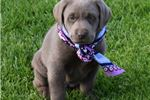 Picture of Sierra The Chocolate Silver Labrador