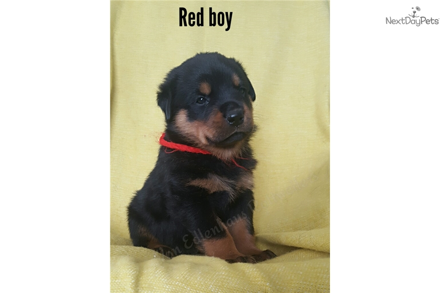 Red Boy Rottweiler Puppy For Sale Near Oklahoma City Oklahoma