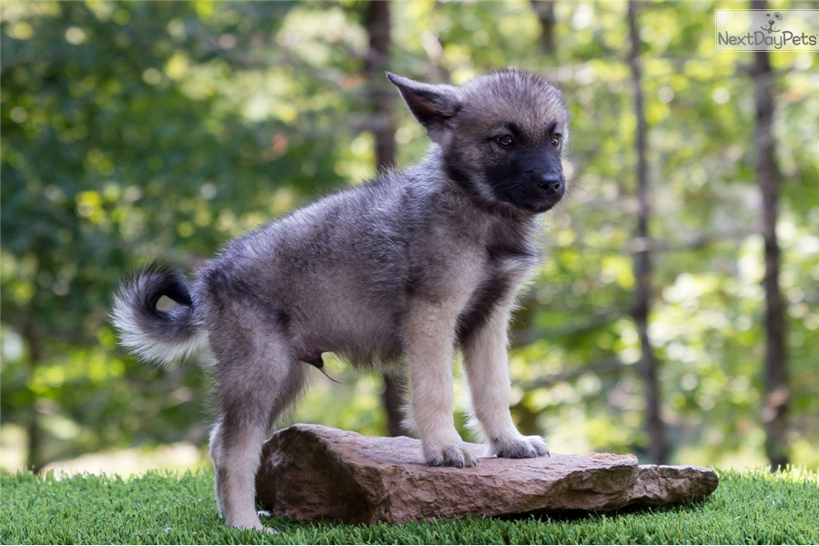 norwegian elkhound puppy for sale near youngstown ohio e108564d e961