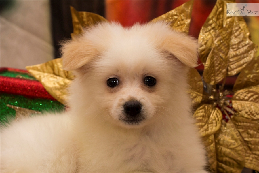 pomeranian breeders va pomeranian puppy for sale near parkersburg marietta west 7493