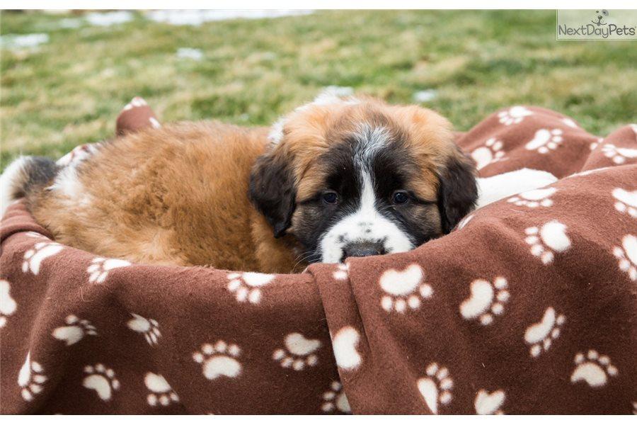 Caesar Saint Bernard St Bernard Puppy For Sale Near Youngstown Ohio 5fe83c7e 7941