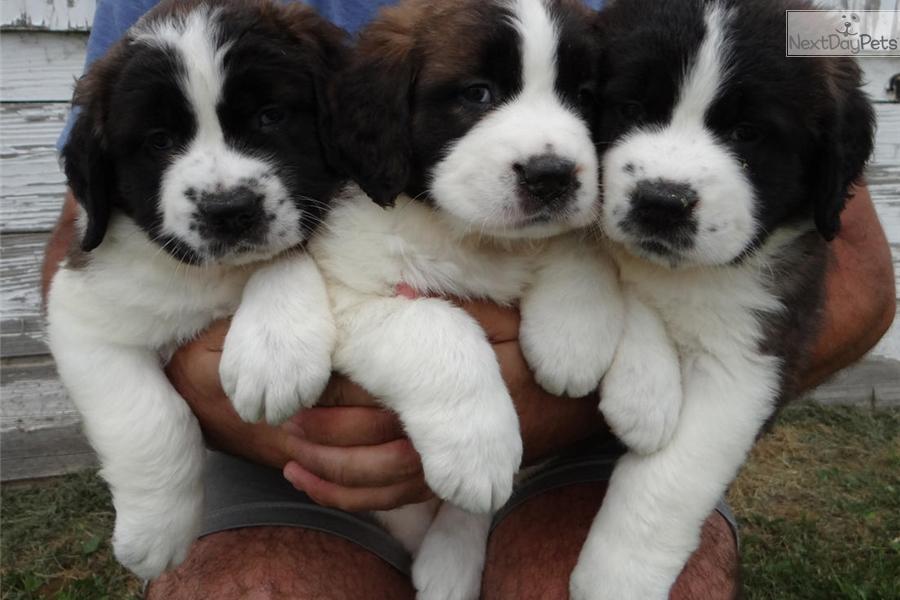 Lola Saint Bernard St Bernard Puppy For Sale Near Youngstown