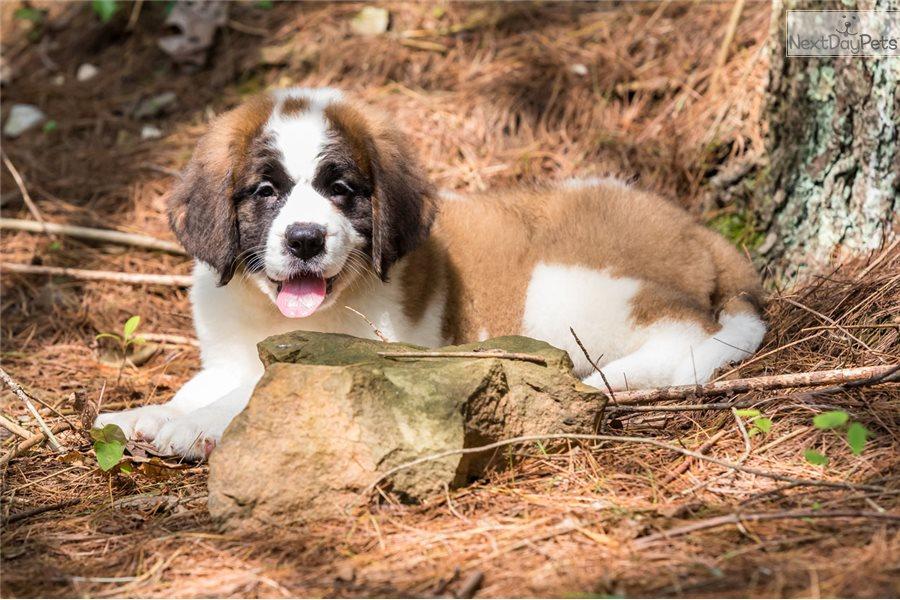 Molly Saint Bernard St Bernard Puppy For Sale Near Youngstown Ohio 7251de20 Edd1