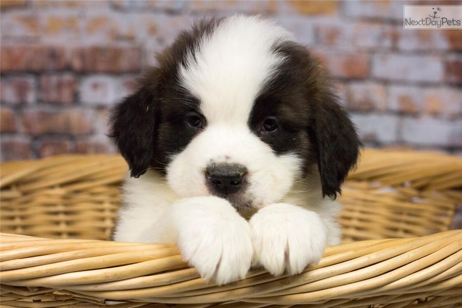 Male 8422 Saint Bernard St Bernard Puppy For Sale Near Charleston