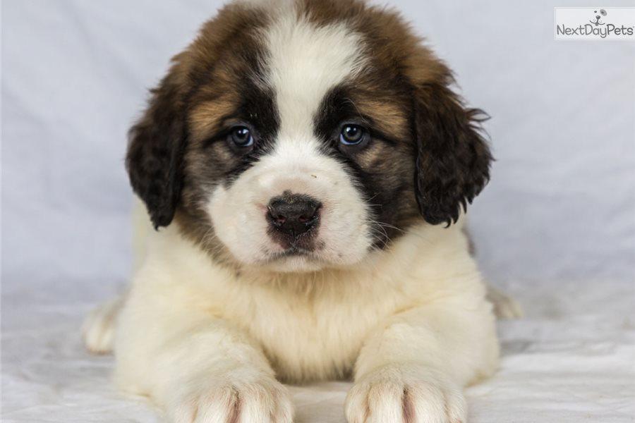 Lola Saint Bernard St Bernard Puppy For Sale Near Youngstown Ohio D91decc9 48f1