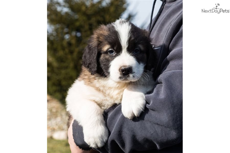 Dreyfus Saint Bernard St Bernard Puppy For Sale Near