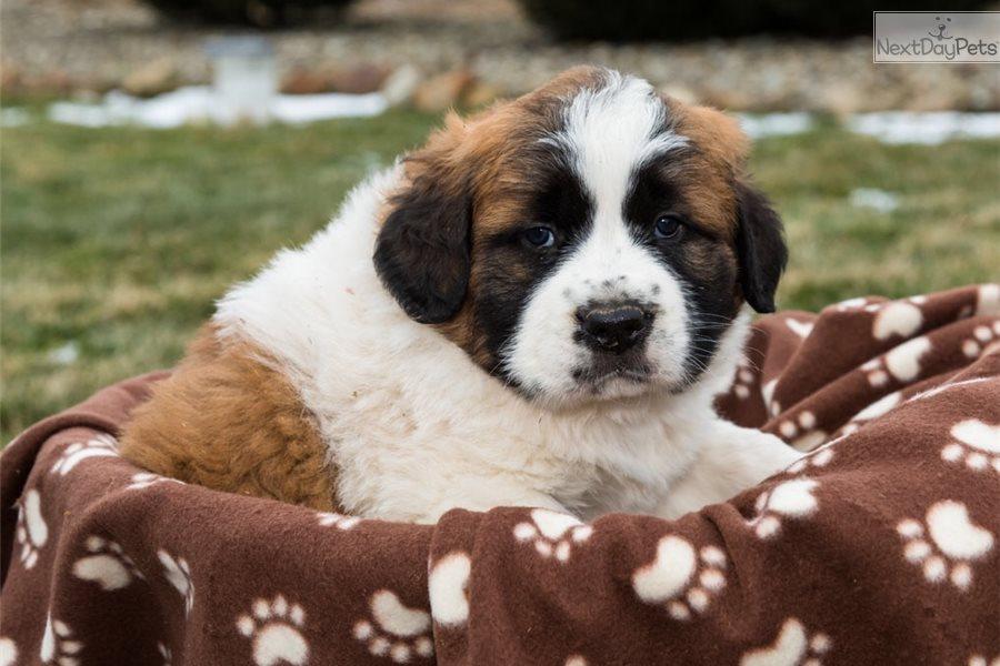 Teddy Saint Bernard St Bernard Puppy For Sale Near Youngstown Ohio 63d62b1f 8681