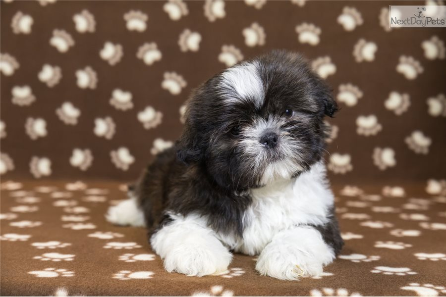 Tucker Shih Tzu Puppy For Sale Near Youngstown Ohio D638a9e0 A261