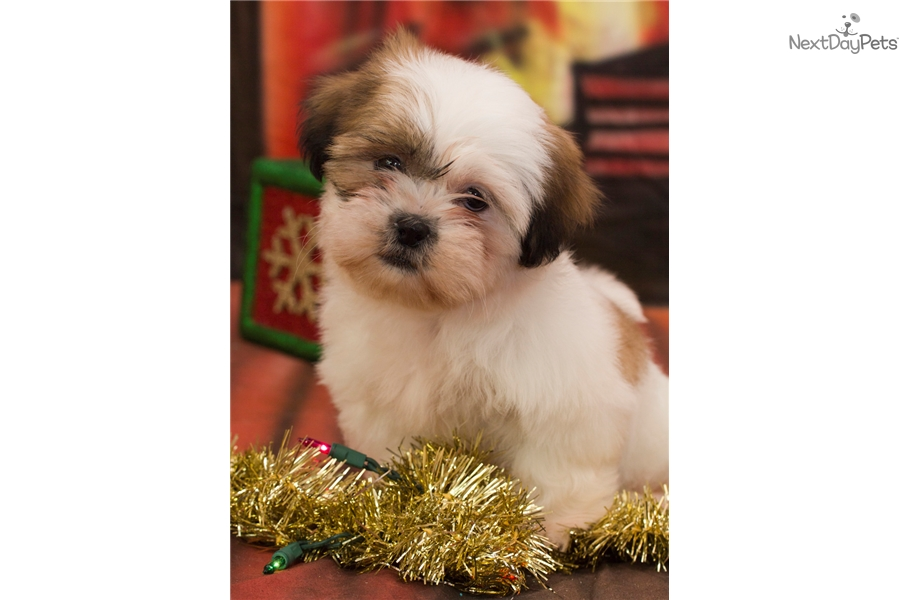 Shih tzu puppies for sale in parkersburg wv