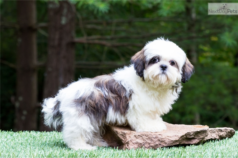 Scout Shih Tzu Puppy For Sale Near Youngstown Ohio 93ff194f B5a1