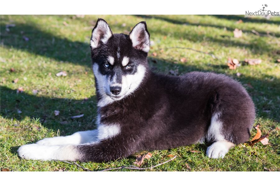 Large Dog Breeds For Sale In Ohio