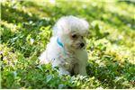 Picture of Nina - TINY Female Bichon