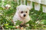 Picture of Nicolette - Tiny Female Bichon