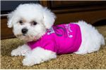 Picture of Male Bichon Puppy - Henry