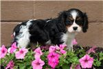 Picture of Kennedy - Cavalier