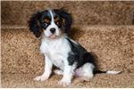 Picture of Reg. Tri Cavalier Puppy - Jax