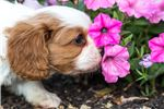 Picture of Ollie - Cavalier