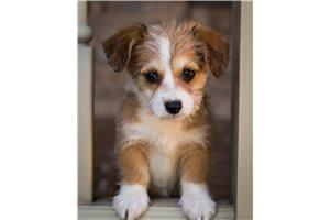 Picture of a Corgipoo Puppy