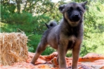 Picture of AKC Female Norwegian Elkhound Puppy - Zoe